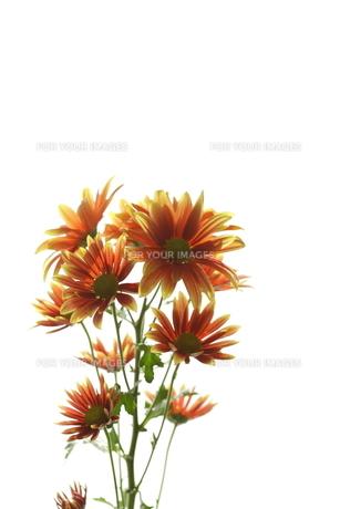 オレンジの花の素材 [FYI00057892]