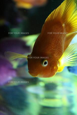 金魚の素材 [FYI00058057]