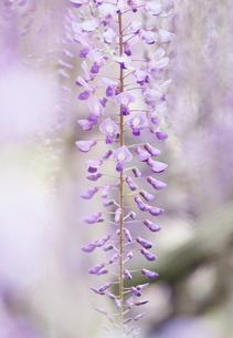 藤の花の素材 [FYI00058210]