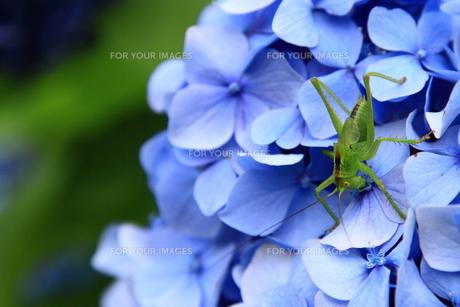 青い紫陽花とキリギリスの写真素材 [FYI00058272]