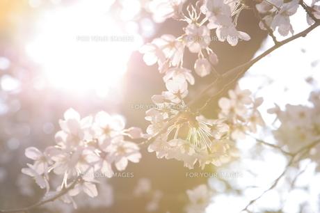 朝日と桜の素材 [FYI00058304]
