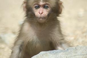 子猿の写真素材 [FYI00058358]