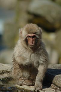 たたずむ猿の写真素材 [FYI00058359]