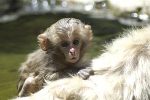 背に乗る小猿の写真素材 [FYI00058362]
