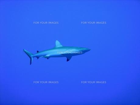 サメの素材 [FYI00058461]