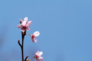 桜(プリンセス雅)の写真素材 [FYI00058504]