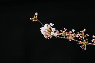 桜の花の写真素材 [FYI00058510]