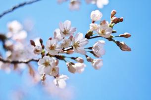 桜の花の写真素材 [FYI00058528]