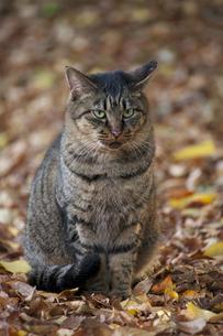 落ち葉の中でたたずむ猫の写真素材 [FYI00058743]