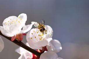 ミツバチと桜の写真素材 [FYI00058878]