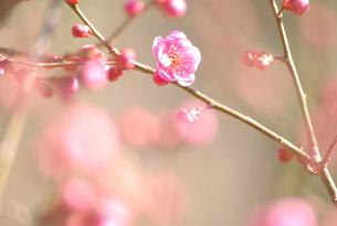 ピンクの梅の写真素材 [FYI00060615]