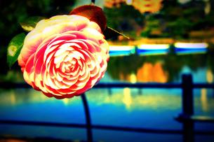 公園に咲く一輪の花の素材 [FYI00060822]