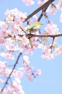 彼岸桜とメジロの写真素材 [FYI00061032]