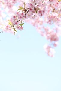彼岸桜の写真素材 [FYI00061051]