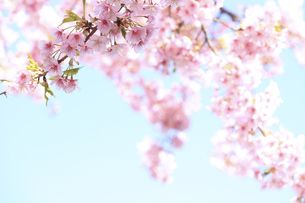 彼岸桜の写真素材 [FYI00061053]