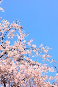 青空とシダレザクラの写真素材 [FYI00061087]