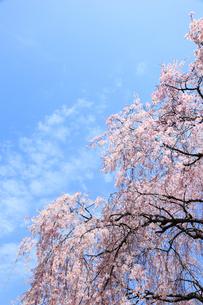 青空とシダレザクラの写真素材 [FYI00061088]