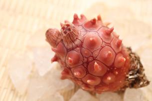 三陸産真海鞘の写真素材 [FYI00061101]