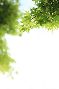 ヤマモミジの新緑の写真素材 [FYI00061103]