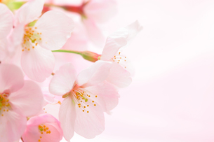 桜の花の背景素材の写真素材 [FYI00061118]