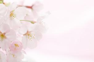 桜の花の背景素材の写真素材 [FYI00061123]