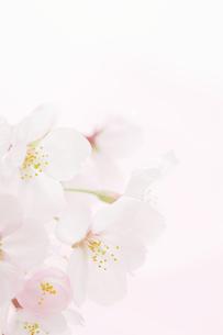 桜の花の背景素材の写真素材 [FYI00061124]