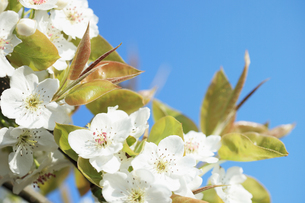 梨の花の写真素材 [FYI00061143]