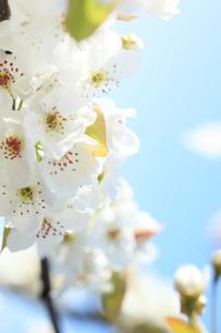 梨の花の写真素材 [FYI00061144]
