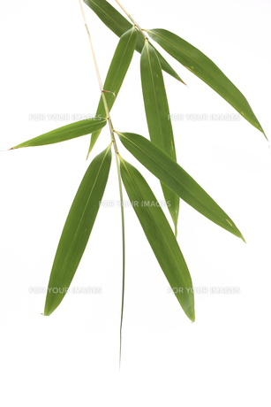 笹の葉の写真素材 [FYI00061145]