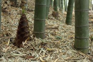 竹林のタケノコの写真素材 [FYI00061146]
