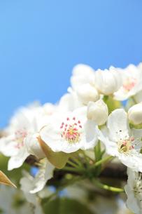 梨の花の写真素材 [FYI00061148]