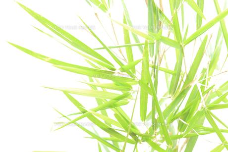 笹の葉の写真素材 [FYI00061149]
