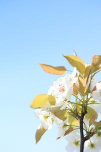梨の花の写真素材 [FYI00061154]