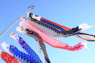 春風を泳ぐ鯉のぼりの写真素材 [FYI00061157]
