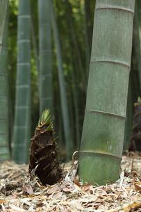 竹林のタケノコの写真素材 [FYI00061169]