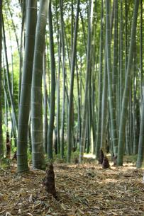 春の竹林の写真素材 [FYI00061170]
