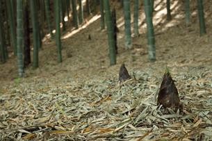 竹林のタケノコの写真素材 [FYI00061177]