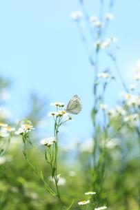 原っぱの草花とモンシロチョウの写真素材 [FYI00061226]