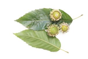 クヌギの葉とドングリの素材 [FYI00061312]