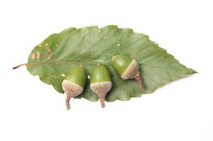 コナラの葉とドングリの素材 [FYI00061314]