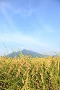 刈り入れ間近のコシヒカリと筑波山の写真素材 [FYI00061377]