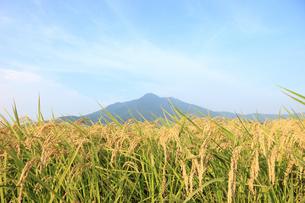 刈り入れ間近のコシヒカリと筑波山の写真素材 [FYI00061393]