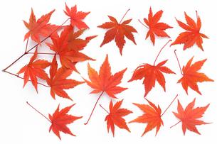 紅葉したモミジのキリヌキ用素材の写真素材 [FYI00061552]