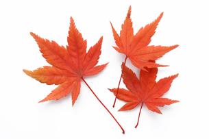 紅葉したモミジのキリヌキ用素材の写真素材 [FYI00061561]