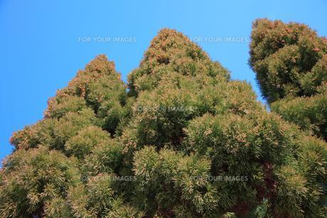 飛散近づく杉花粉の写真素材 [FYI00061756]