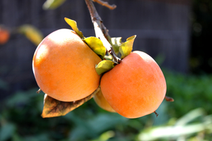 熟した柿の写真素材 [FYI00061773]
