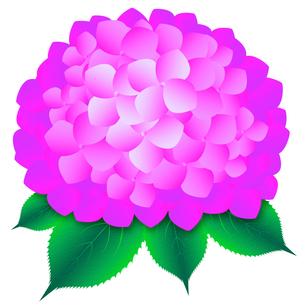あじさい ピンクの写真素材 [FYI00061806]
