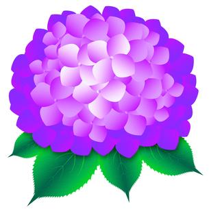 あじさい 紫色の写真素材 [FYI00061808]