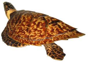ウミガメの剥製 斜め後方の写真素材 [FYI00061851]