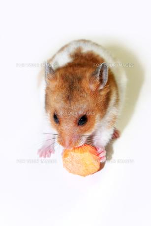にんじんを食べるゴールデンハムスターの写真素材 [FYI00061946]